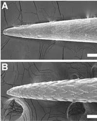 Vue au microscope électronique de la structure d'une pointe de porc-épic africain (en haut) et d'un porc-épic américain (en bas). Crédit: PNAS.