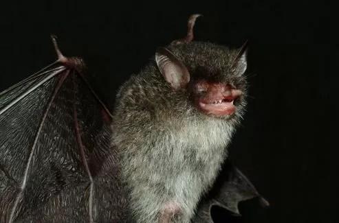 Cette petite chauve-souris (Murina beelzebub) fait partie des 126 nouvelles espèces découvertes cette année dans le bassin du Mékong.