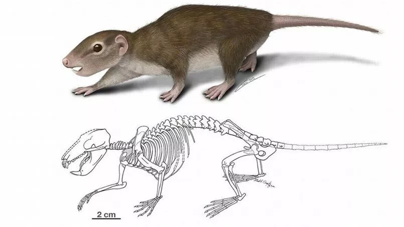 Reconstitution d'artiste du <i>Rugosodon eurasiaticus </i>par April Isch, de l'université de Chicago.