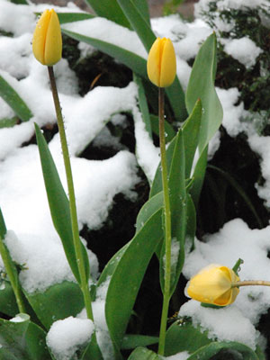 <Snow-covered tulips in Saint-Jean-deSixt, France>