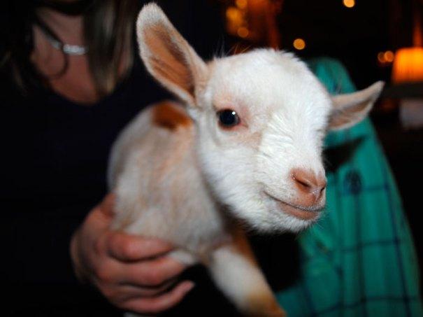 <Photo of a baby goat at La Ferme des Vonezins refuge near Thones, Haute Savoie, France >