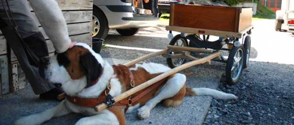 St Bernard dog attached to trailer