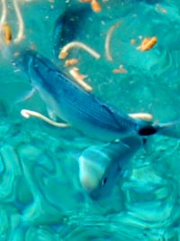 <Photo of fish in Sardinia being fed spaghetti'>