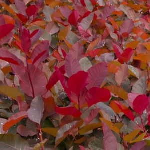 03_Cotinus_x_Grace_fall
