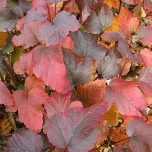 09_Physocarpus_opulifolius_Diable_Dor_fall