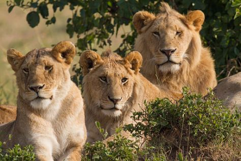 Portrait of three lions (one female and two males) of a pride,. Taken in Masai Mara, southwest Kenya by Benh Liue Song.
