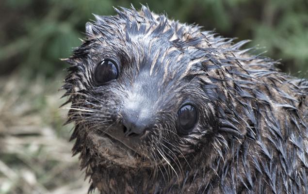 Seal.pup
