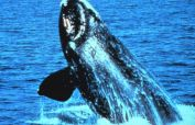 Right Whale Melbourne Florida
