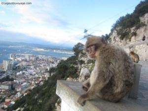 Gibraltar - Les Singes