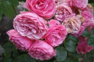 """Les roses """"Mona Lisa"""" dans le jardin du Clos Lucé"""
