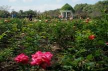 Le jardin des roses en fin de floraison