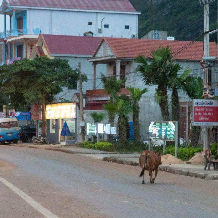 Dans la rue, une vache