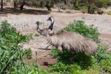 Emus - Emeus