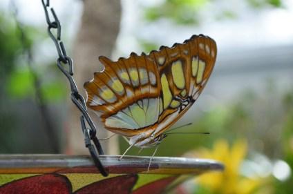 A butterfly rests on a feeding tray inside the Butterfly Conservatory. | Nicole Kunze