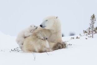 Polar bear mother resting with twins,one cub is trrying to climb on her back, the other one is hiding at her belly hardly visible beneath her hind leg
