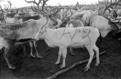 Reindeer Herders in Swedish Lapland, fall 1958 – This marks the largest reindeer roundup of the year at 12,000 animals strong