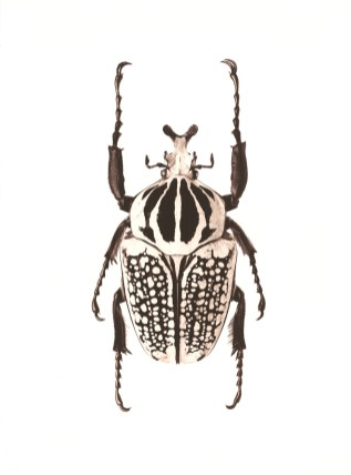 Goliathus orientalis (Nigeria), from the Of Monster & Dragon series