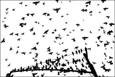 Pigeon Series - Alan Schaller
