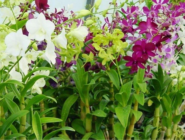 Come Curare Le Orchidee In Casa Coltivazione Orchidee