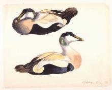 Edderfugle, studie, 60x65 cm