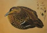 Ederfugl, 41x28 cm