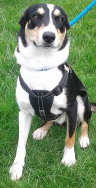 'Maci' 11 month old Female Border Collie. Come into us as too boisterous for her owner.