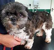 ADOPTED 'Teddy' 8 year old Shih Tzu. Castrated male. Teddy is looking for a home as his owner has moved home and are not allowed to have pets.