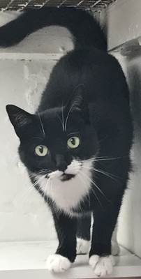 'Tilly' 5 year old Female Black/White DSH. Come into us as owner moving home and can't take Tilly with them.