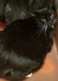 'Timmy' 5 year old black & white Male. Timmy was dumped in his carrier outside the Home. Timmy is a little nervous in his pen when first approached so won't be homed with younger children. He is better when out and about.