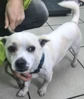 'Tommy' 18 month old Male Jack Russell/Chihuahua Cross. Come into us as owner moving and can't take. Little nervous, will not be rehomed to a home with children under the age of 13.