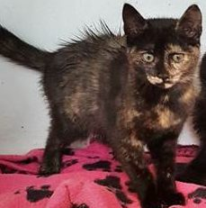 Kitten female come into us as owner homeless. Torti DSH. 15 weeks old.