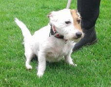 ADOPTED 'Toby' 5 year old Jack Russell. Came to us as his owner was moving home. He has been to a home but was returned as he was going for the cats. Toby has some fur loss on his flanks but this was due to him having fleas and has been treated. Toby doesn't like being over handled so cannot be rehommed with anyone under 14 years old.