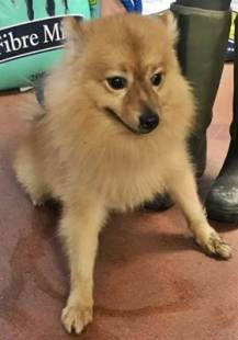 'Frankie' 4 year old Male Pomeranian. Frankie came into us as he is not suitable with other animals at all. He will not be rehomed with children under 14 years old.