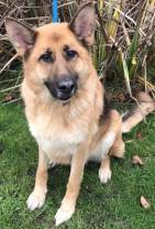 'Floyd' 6 year old Male GSD. Come into us as owners landlord won't allow pets. Does have an on going ear problem, but currently under treatment and doing fine.