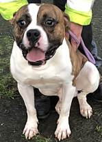 'Rusty' 13 month old Male American Bulldog type. Rusty was rehomed a few months ago but is back with us as he has nipped at a child. This was likely due to over-exuberance when playing but as a precaution he will now not be placed in a home with under 16's.