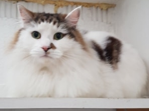 'TigerFace' 3 and a half year old Male Tabby/White DLH. Came into us as his owner moved into a new home and TigerFace is unsettled and not clean now. His owners were concerned about hygiene as they have a young child.