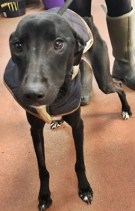 'Esther' 2 year old Female Whippet Type. Originally a stray history/habits unknown.
