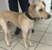 'Franco' 18 month old Male Lurcher. Originally a stray history/habits unknown.