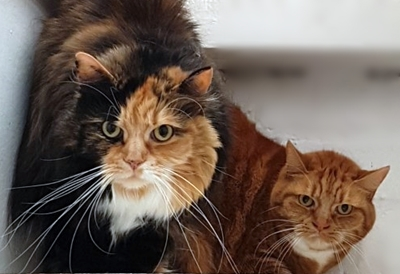 'Jasmine' & 'Amber' 6 year old neutered spayed females, They are looking for a new home together due to their owners ill health. They need a quiet home without children as they aren't keen on being over handled.