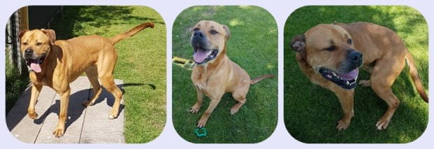 'Benny' 6 year old Male Mastiff Cross. Originally a stray so his history and habits are unknown. Benny is lovely when he gets to know you but a little nervous,initially so will not be rehomed with children under 14 years old.