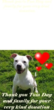 'Blue' 7 year old American Bulldog, castrated male. Blue came to us as a stray with no history or background. He has been friendly with our staff but due to his breed and size will only be homed with teenagers and above. He loves to play and is a great character!