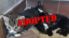 ALL ADOPTED Kittens All 11 weeks Tabby/White DSH Male, Black/White DSH Male Has been adopted, Black DSH Female. Come into us as owner can't keep
