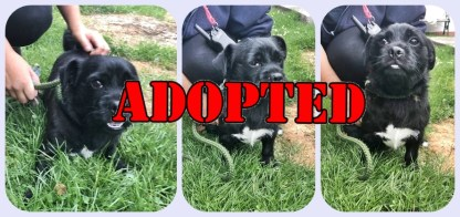 ADOPTED 'Paddy' 2 year old Male Pug Cross. Paddy came into us as his owner has had a new baby and no longer has the time for him. He has a small 'cherry eye' that may require surgery in the future but is not affecting him currently.