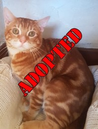 ADOPTED 'Ginge' 10 month old castrated male. Ginge came to us as his owner was unable to continue caring for him. He is a bit nervous so will not be rehomed with under 12's at the moment but this may change as he settles.