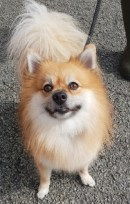 'Chico' 4 year old Male Pomeranian type. Chico is looking for a home as he was too much for his owner. We have found him to have a short temper and not too keen on other animals, this may be down to settling but for now we won't consider homing him with children.