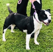 'Angelina' approximately 3 year old Female Staffordshire Bull Terrier. Angelina came to us originally as a stray so her history/habits are unknown.