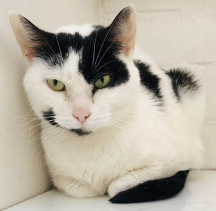 'Daisy' 4 year old Female White & Black DSH. Daisy came into us as her owner has started working away and unfortunately no longer has the time to spend with her. She has been used to living with other cats.