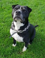 'Ziggy' 9 year old Female Staffordshire Bull Terrier Cross. Ziggy was originally a stray so her history and habits are unknown. Ziggy is a little bit older so is a bit more laid back. She would love a quiet home where she gets gentle walks and is allowed to sleep most of the time.