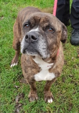 'Niesha' 7 and half year old Female Boxer Cross. Niesha came into us as her owner sadly passed away. She is a loving, friendly & playful dog so has no specific restrictions as to where she can be homed.