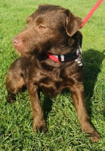 'Lou-Lou' Patterdale Terrier female, approximately 2 to 3 years old. Lou-Lou was found as a stray so her background is unknown. She is wary around new people but very loving when she gets to know you so will need an owner with some patience and won't be able to go to a home with under 16's. Lou-Lou was adopted but unfortunately had to be returned after a few months as she was destructive when left for any period of time, She cannot be homed with cats or other small animals.